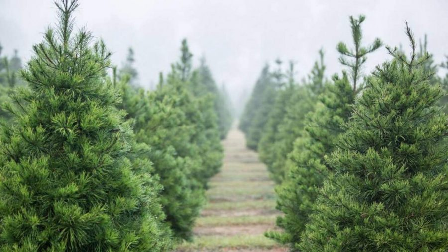 The Problem with Real Christmas Trees